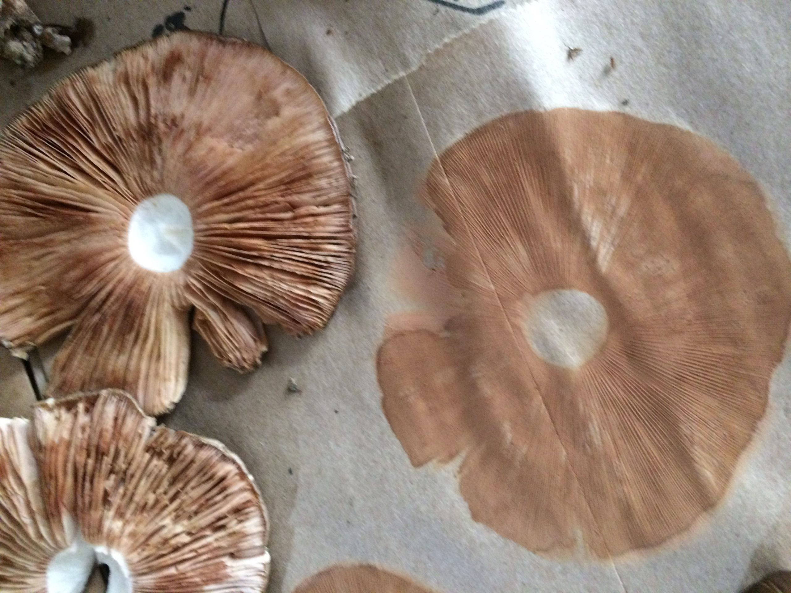 Spore prints are a helpful ID method.