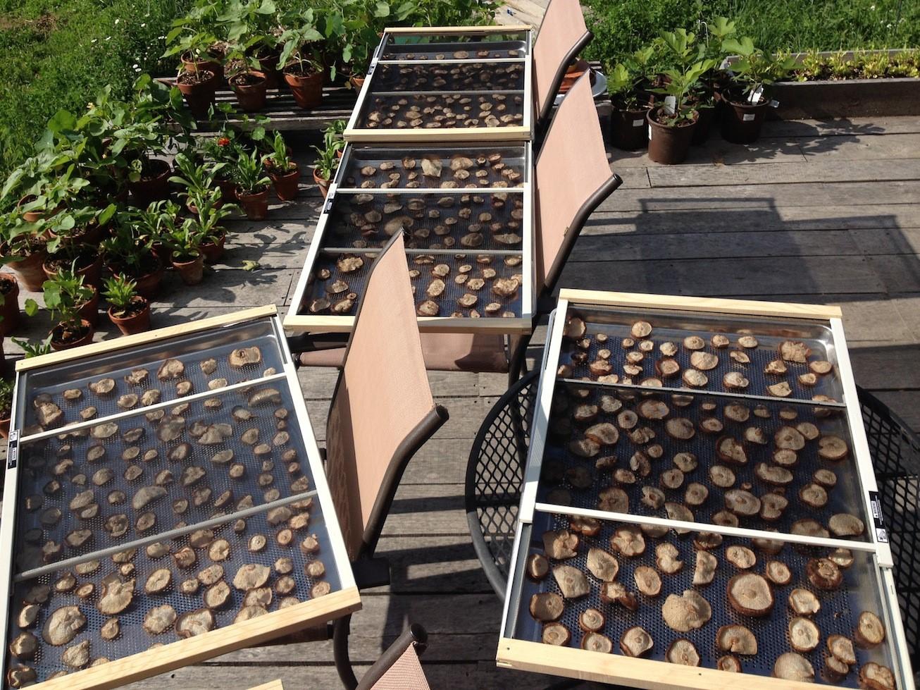 Mushrooms drying on racks in the sunshine.