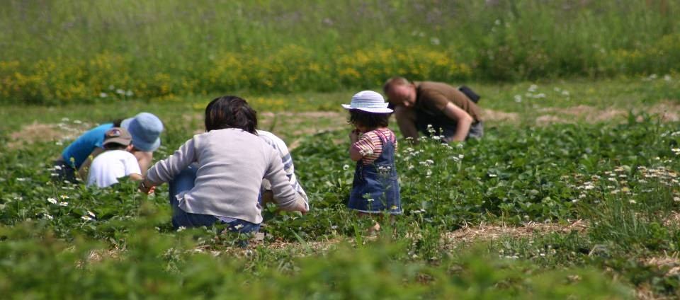 A family is in farm field picking produce, they are not maintaing the recommended six foot physical distancing.