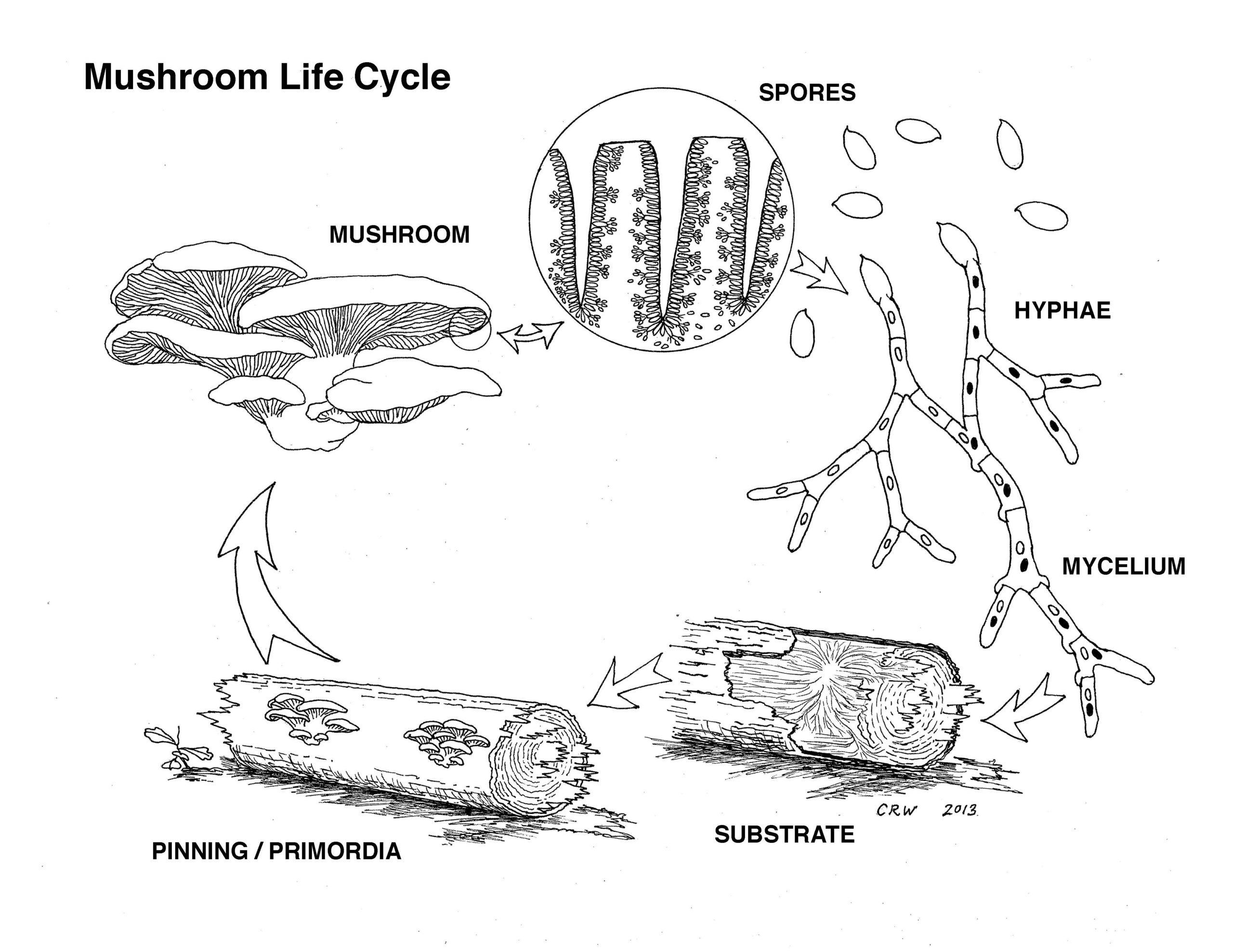The Mushroom lifecycle is composed of 5 steps. First the mushroom releases spores. The spores join and grow into hyphae. Many hyphae create mycelium which inoculate themselves inside if the substrate. The next step is the pinning or primordia phase where small mushroom heads emerge from the substrate. Finally, the pins turn into full mushroom fruiting bodies.