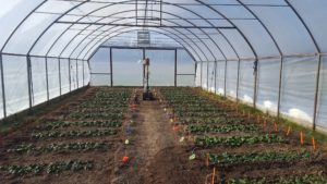 A soil based greenhouse (high tunnel) with multicolored flags and stakes demarking spinach plots that run perpendicular to the long axis of the greenhouse.