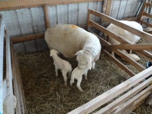 Twinning lambs