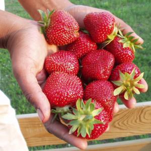 hands holding fresh strawberries