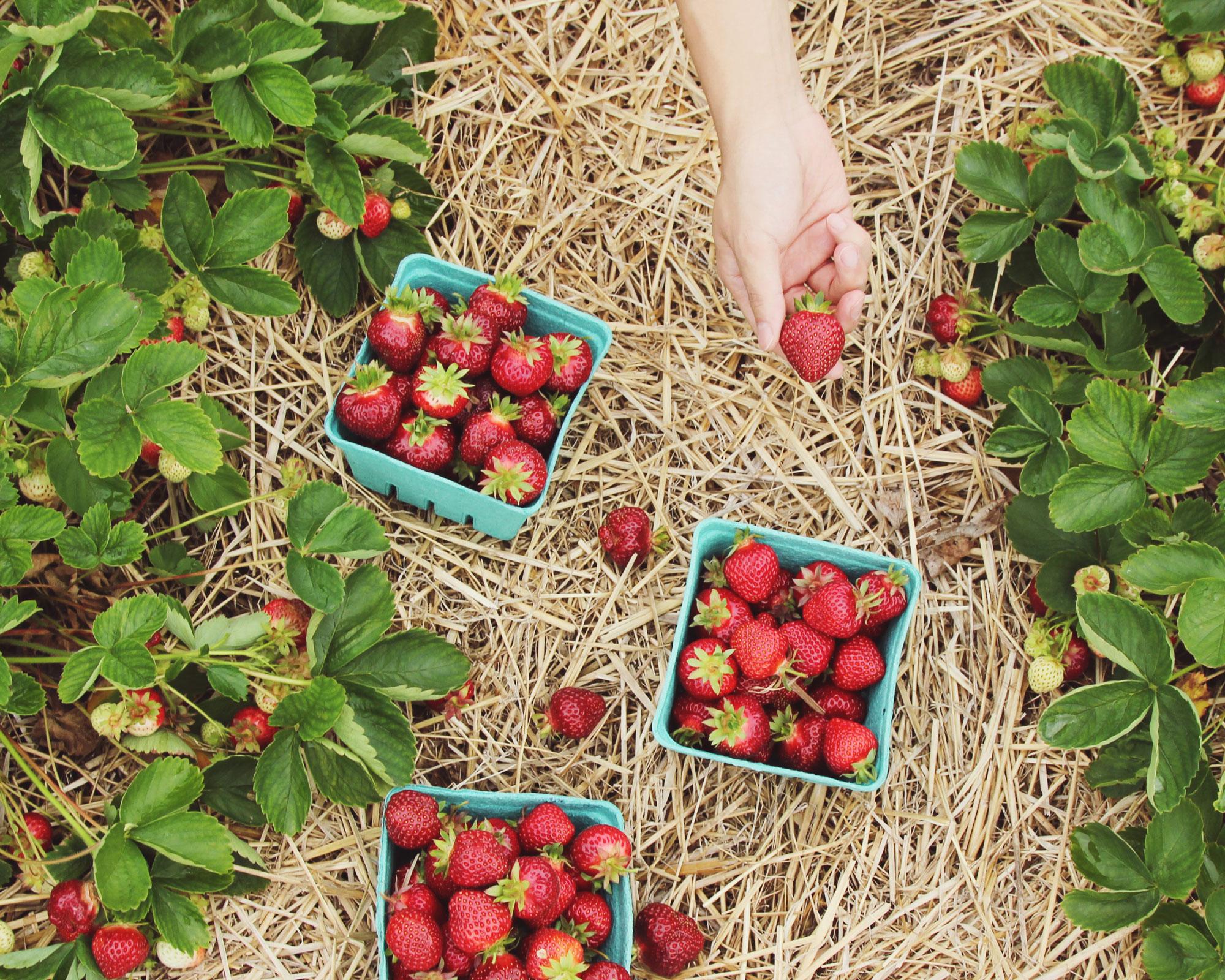 hand-strawberry-picking-unsplash