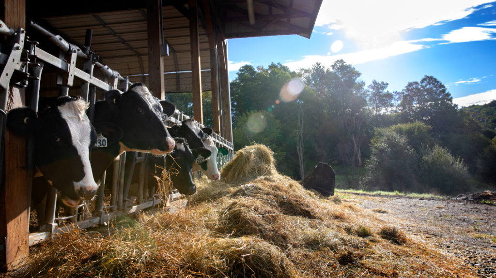 Cows poke heads out of a dairy barn in the Catskills.