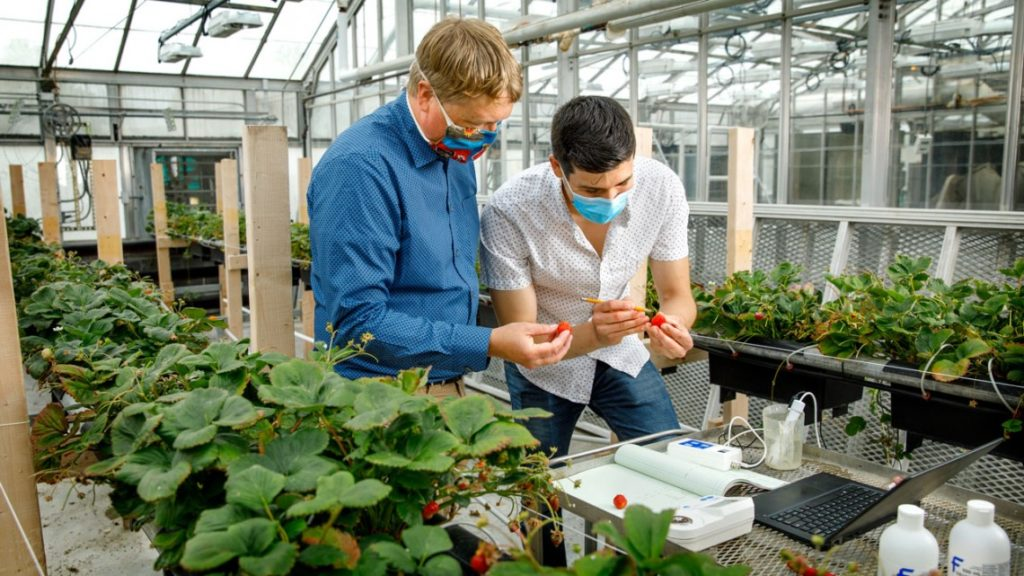 Neil Mattson and a student, both in masks, examine strawberries in a greenhouse.