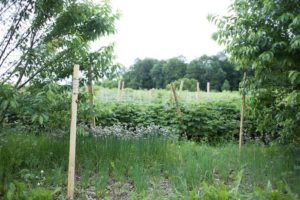 A canopy of cherry trees, subcanopy of raspberries, and groundcover of dandelion and chives in Unadilla Community Farm's food forest.