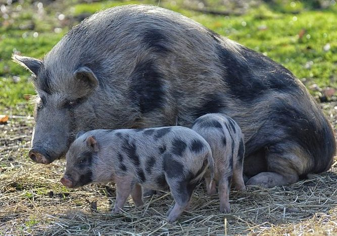 getting started with pastured pigs cover